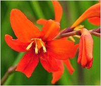 Crocosmia masoniorum closeup