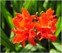 Crocosmia 'Orange Devil' 2