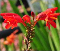 Crocosmia x crocosmioides 'Castle Ward Late'