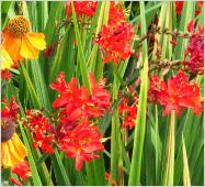 Crocosmia x crocosmioides 'Vulcan' mixed border with Helenium