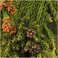 Cryptomeria japonica 'Barabits Gold' vruchtkegels