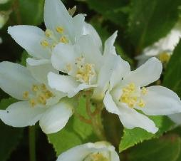 Deutzia gracilis closeup flowers