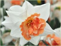 Narcissus 'Candy Princess' closeupvn