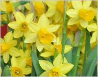 Narcissus_'Tete_a_Tete'_in pot