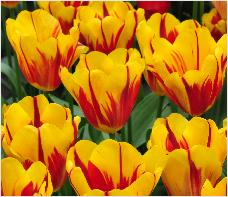 Tulipa 'Washington Orange' group vnn